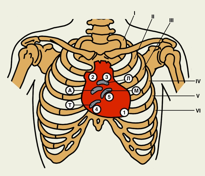 тело. верхушка сердца (проводятся шумы с митрального клапана); 2 - второе межреберье у правого края грудины (клапан...