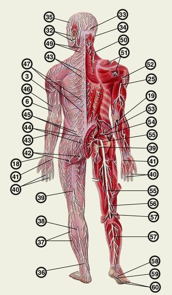 Анатомия человека, под ред. М.Р. Сапина, т. 2, с. 290, М., 1986; Внутриствольное строение периферических нервов, под...