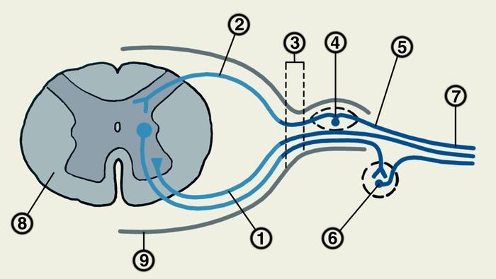 ...лат. radicula корешок + itis) воспалительное и компрессионное поражение корешков спинномозговых нервов.